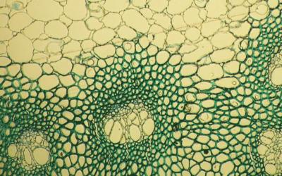 MBG y UVigo avanzan, a través de su Unidad Asociada, en el conocimiento del papel de la pared celular del maíz