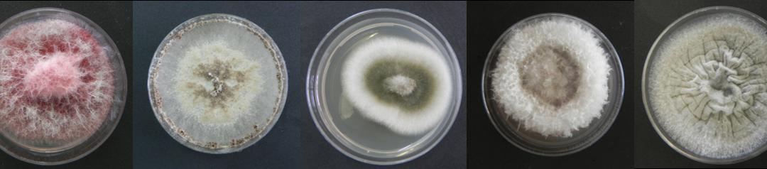 Los hongos endófitos de las berzas tienen un efecto positivo en su cultivo