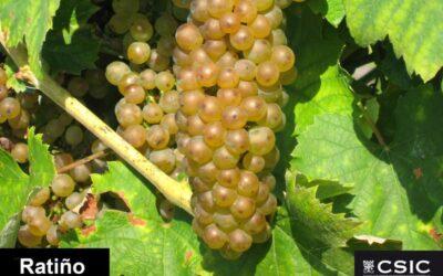 La variedad de vid Ratiño Gallega, incluida en el Registro de Variedades Comerciales